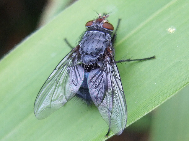 bottle_fly